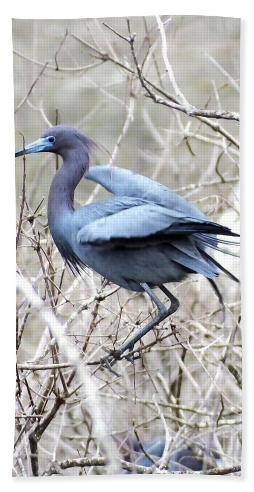 Bird Hand Towel featuring the photograph Little Blue In Rookery Louisiana by Lizi Beard-Ward