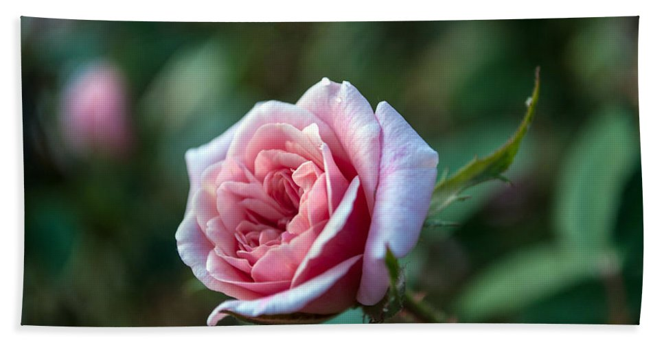 Layers Bath Sheet featuring the photograph Little Pink Rose by Anna Burdette
