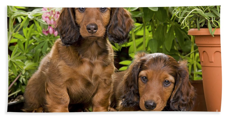 Long-haired Dachshund Bath Sheet featuring the photograph Long-haired Dachshunds by Jean-Michel Labat