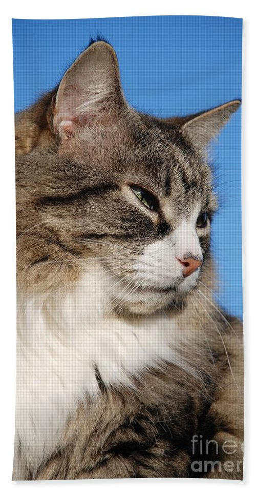 long haired silver tabby cat hand towel for sale by david fowler