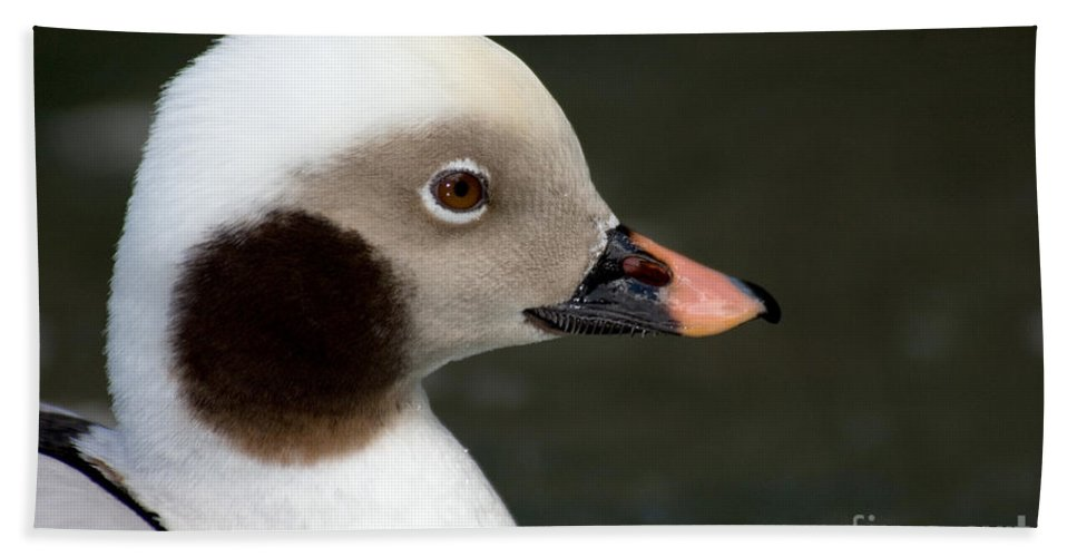 Fauna Hand Towel featuring the photograph Long-tailed Duck by Anthony Mercieca