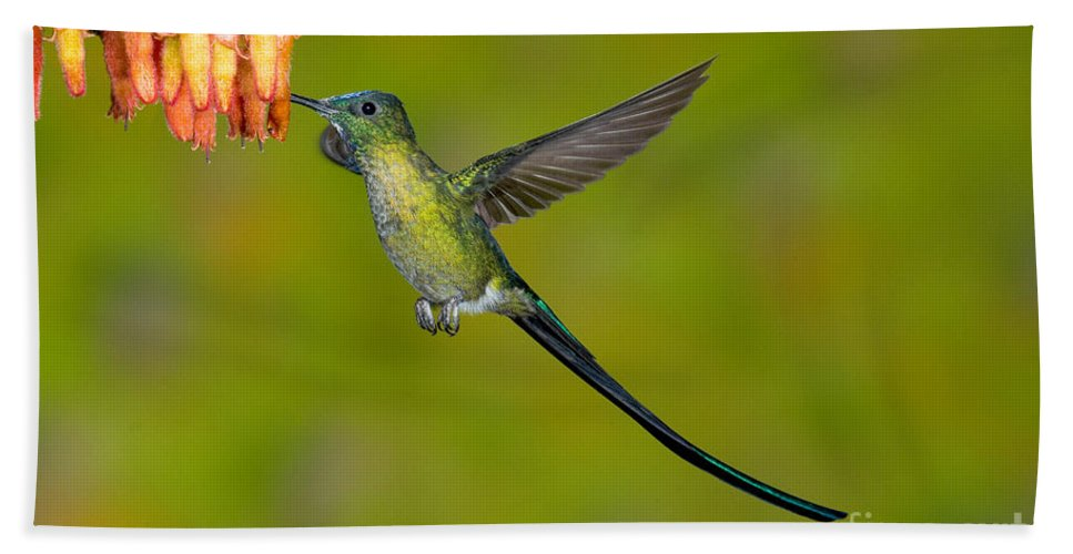 Fauna Hand Towel featuring the photograph Long-tailed Sylph by Anthony Mercieca
