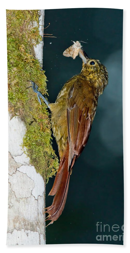 Long-tailed Woodcreeper Hand Towel featuring the photograph Long-tailed Woodcreeper by Anthony Mercieca