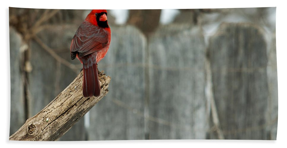 Northern Cardinal Hand Towel featuring the photograph Looking Fine by Edward Peterson
