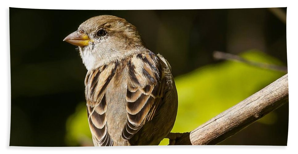 Sparrow Bath Sheet featuring the photograph Looking Over My Shoulder by Nikki Vig