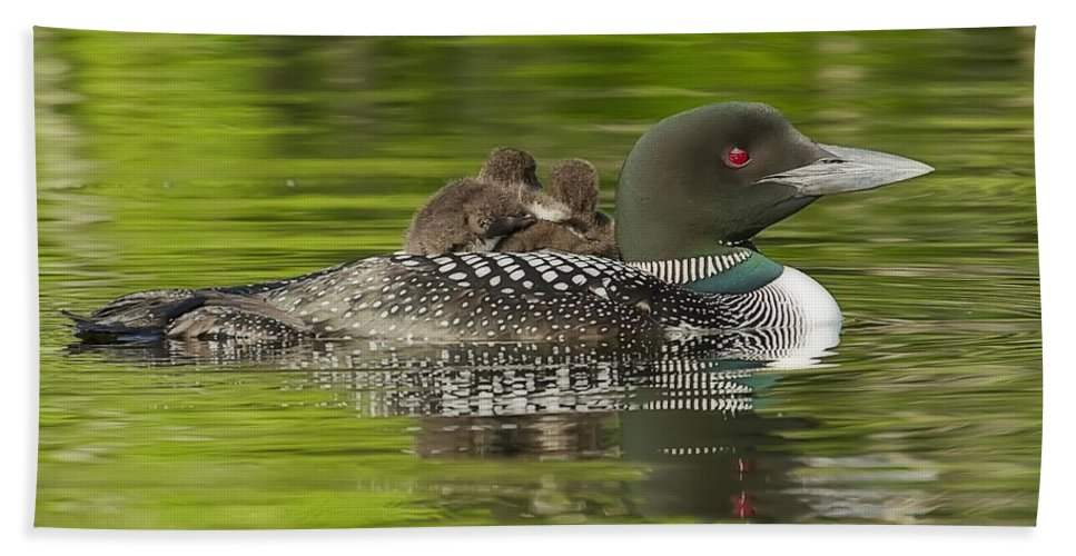 Common Loon Hand Towel featuring the photograph Loon Chicks - Best Buddies by John Vose