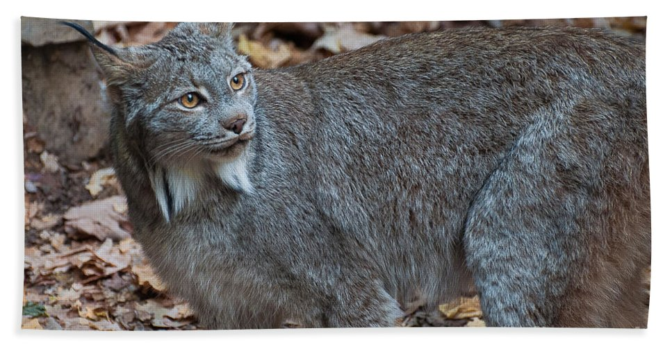Canadian Lynx Hand Towel featuring the photograph Lynx Eyes by Bianca Nadeau