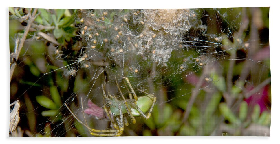 Lynx Spider Hand Towel featuring the photograph Lynx Spider And Young by Anthony Mercieca