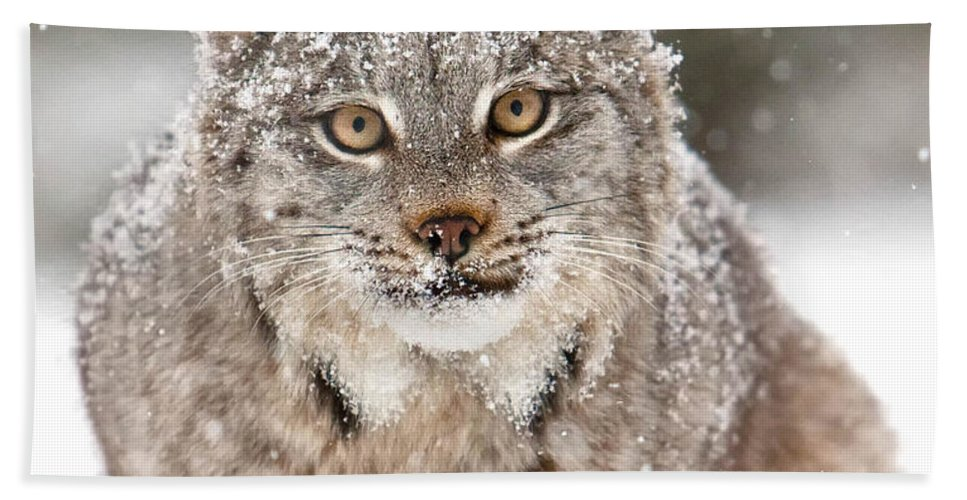 Animal Bath Sheet featuring the photograph Lynx Stare by Jerry Fornarotto