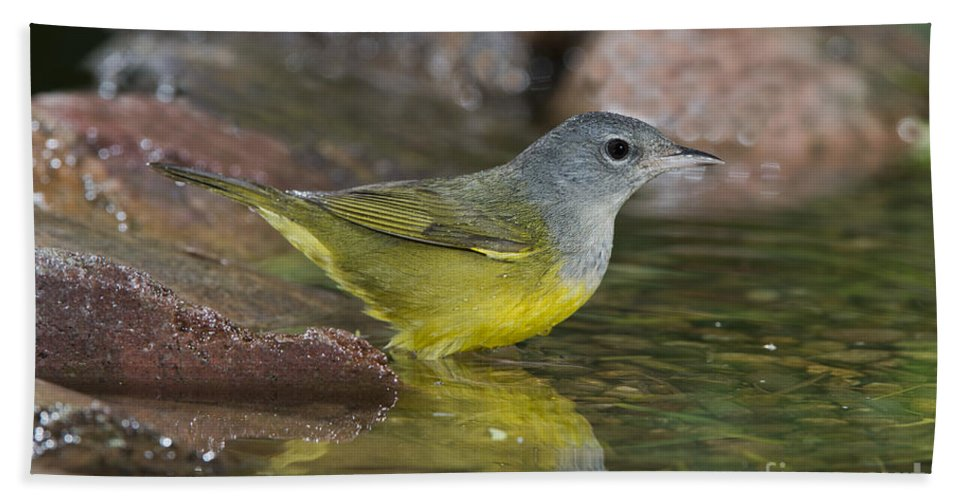 Macgillivray's Warbler Hand Towel featuring the photograph Macgillivrays Warbler by Anthony Mercieca