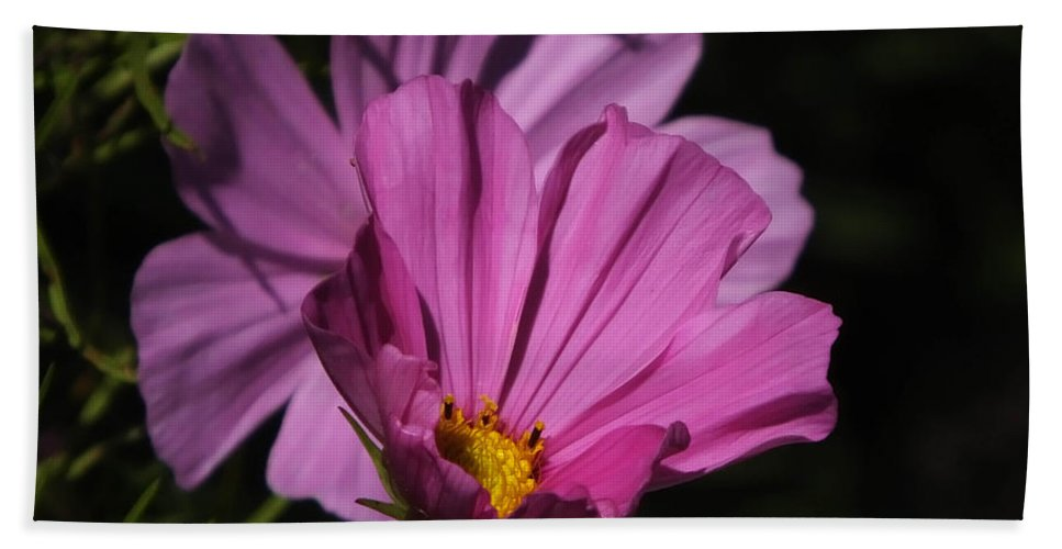 Flower Hand Towel featuring the photograph Magenta Cosmos 2 by Lizi Beard-Ward