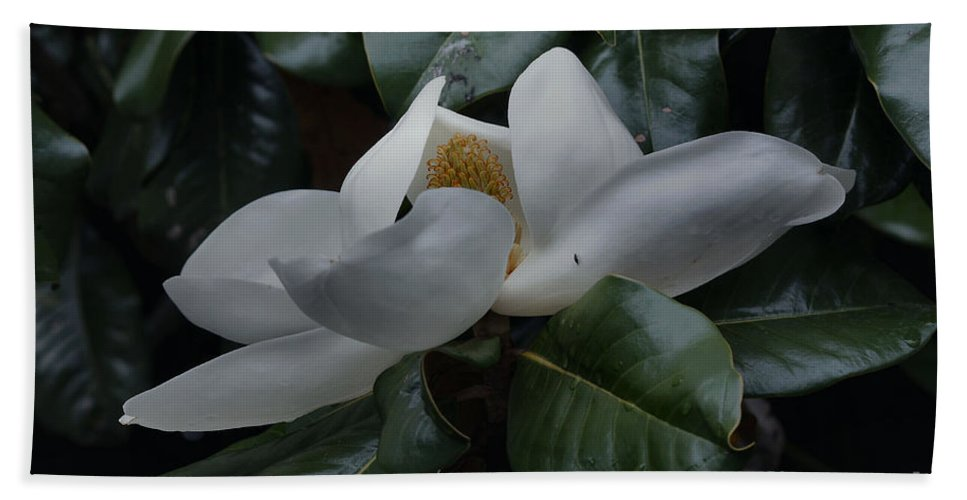 Magnolia Grandiflora Hand Towel featuring the photograph Magnolia In Full Bloom by Luv Photography