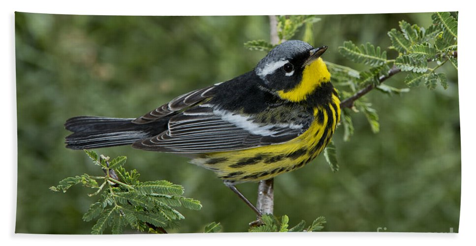 Magnolia Warbler Hand Towel featuring the photograph Magnolia Warbler by Anthony Mercieca