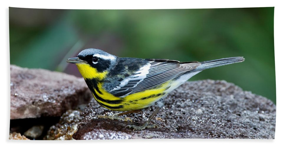 Fauna Hand Towel featuring the photograph Magnolia Warbler Dendroica Magnolia by Anthony Mercieca