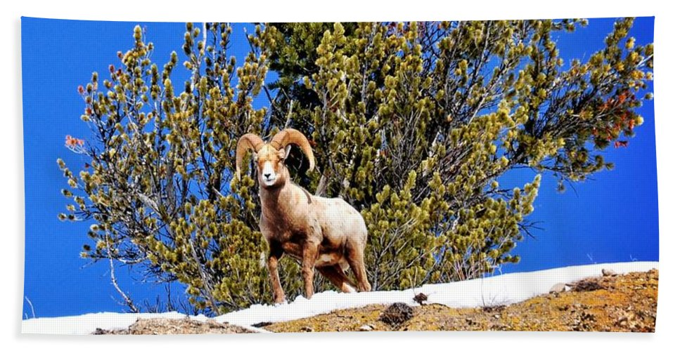Hoback Junction Hand Towel featuring the photograph Majestic Big Horn Sheep by Image Takers Photography LLC