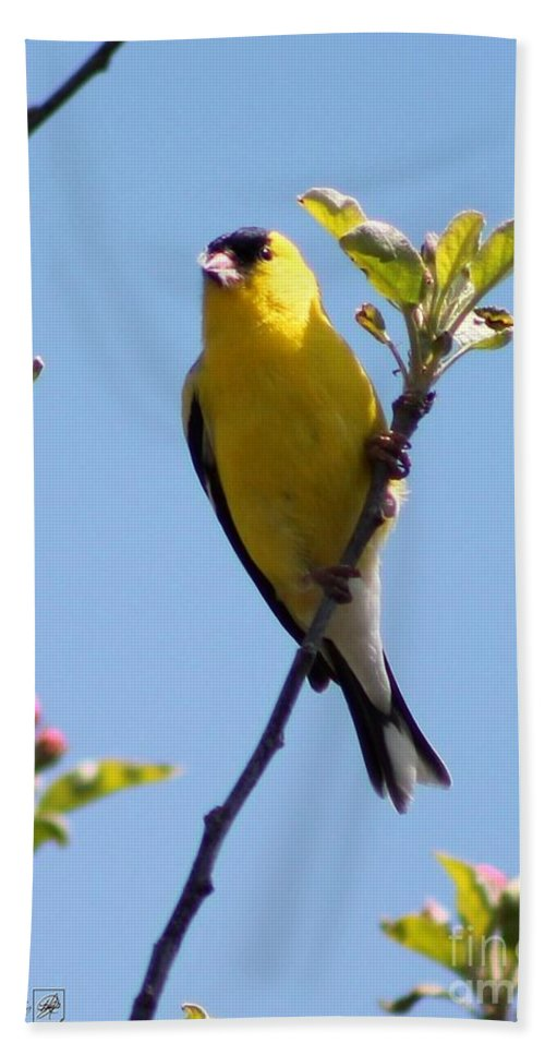 American Goldfinch Hand Towel featuring the photograph Male American Goldfinch Gathering Feathers For The Nest by J McCombie