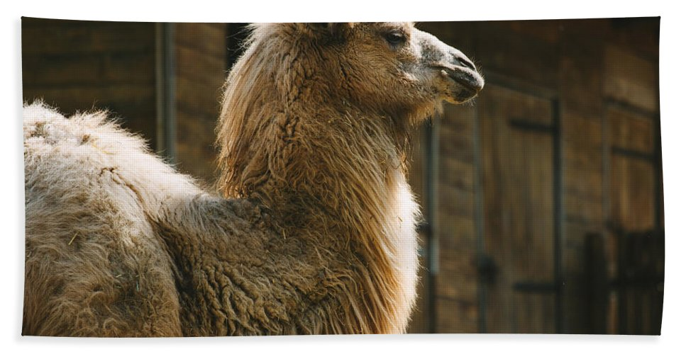 Africa Bath Sheet featuring the photograph Male Camel Head by Pati Photography