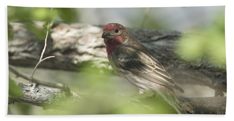 Bird Hand Towel featuring the photograph Male House Finch by Dianne Phelps