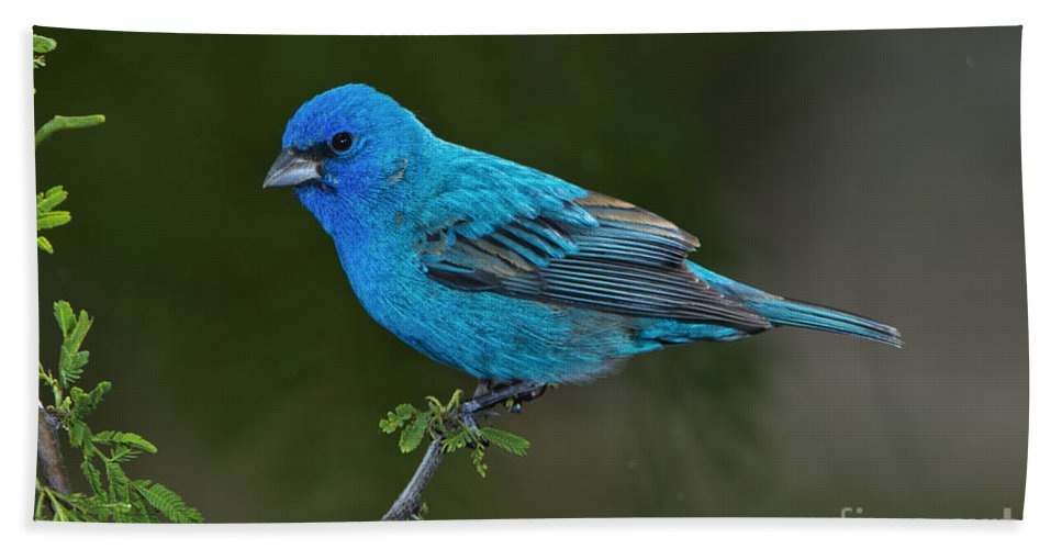 Indigo Bunting Hand Towel featuring the photograph Male Indigo Bunting by Anthony Mercieca