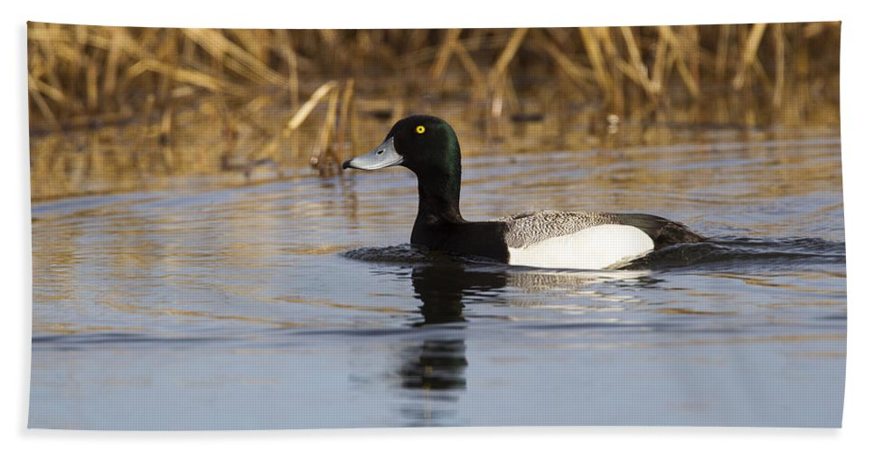 Doug Lloyd Bath Sheet featuring the photograph Male Lesser Scaup by Doug Lloyd
