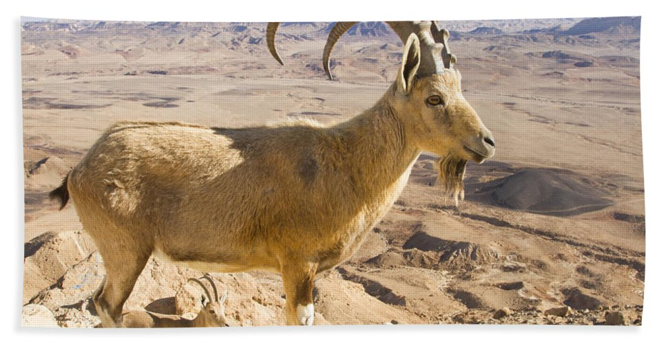 Animal Hand Towel featuring the photograph Male Nubian Ibex Capra Ibex Nubiana by Eyal Bartov