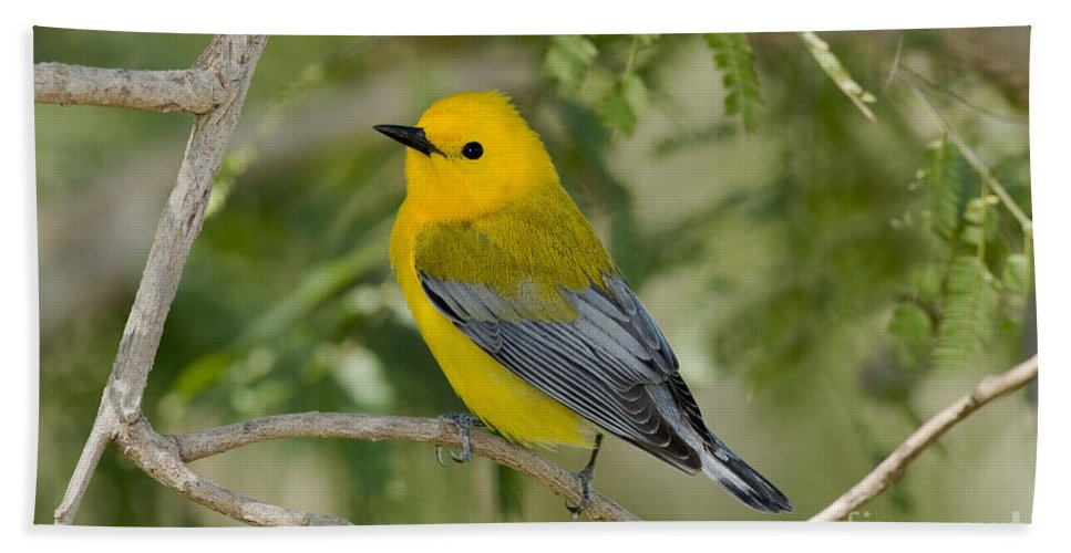 Prothonotary Warbler Hand Towel featuring the photograph Male Prothonotary Warbler by Anthony Mercieca