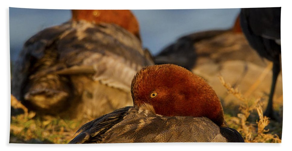 Doug Lloyd Bath Sheet featuring the photograph Male Readhead Duck by Doug Lloyd