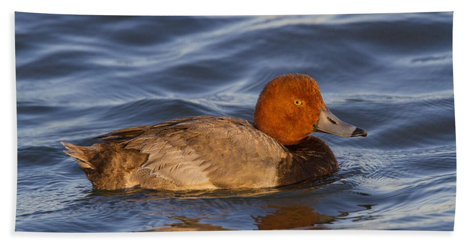 Doug Lloyd Bath Sheet featuring the photograph Male Redhead Duck by Doug Lloyd