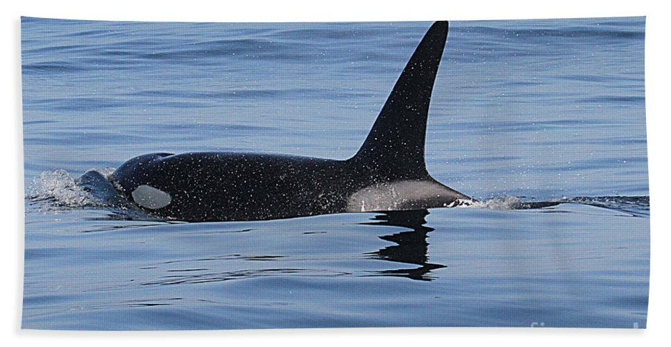 Male Hand Towel featuring the photograph Male Transient Orca In Monterey Bay 11-10-13 by California Views Mr Pat Hathaway Archives