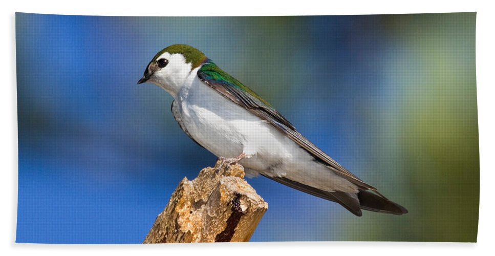 Animal Hand Towel featuring the photograph Male Violet-green Swallow by Anthony Mercieca