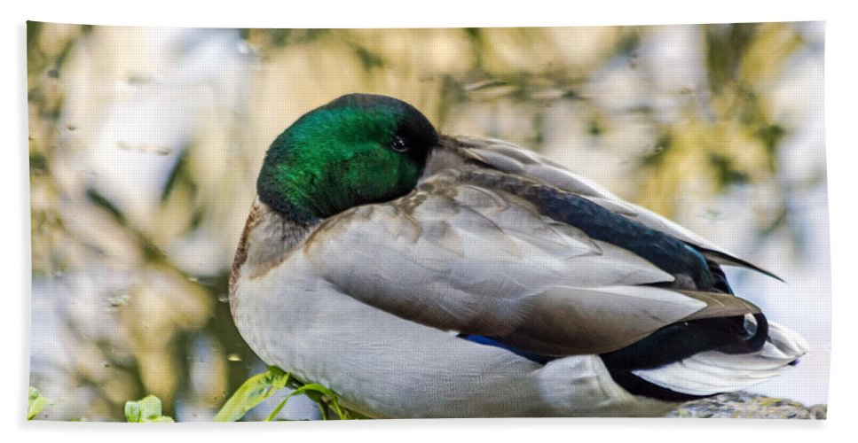 Anas Platyrhynchos Hand Towel featuring the photograph Mallard Napping by Kate Brown