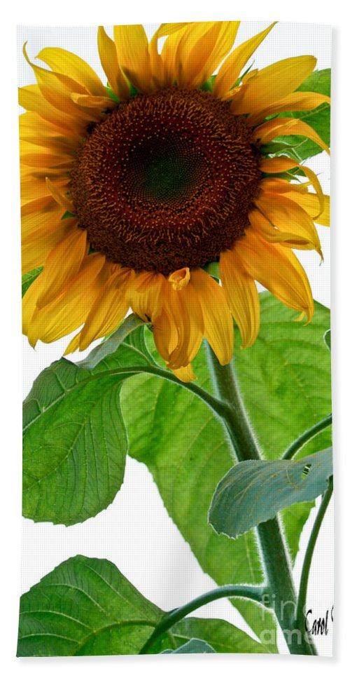 Sunflower Bath Sheet featuring the photograph Mammoth Sunflower by Carol F Austin