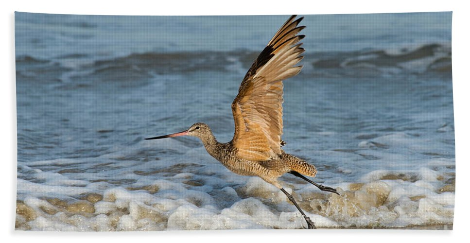 Marbled Godwit Hand Towel featuring the photograph Marbled Godwit Taking Off On Beach by Anthony Mercieca