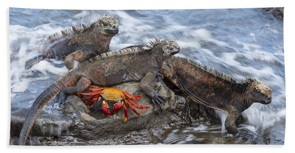 Tui De Roy Bath Towel featuring the photograph Marine Iguana Trio And Sally Lightfoot by Tui De Roy