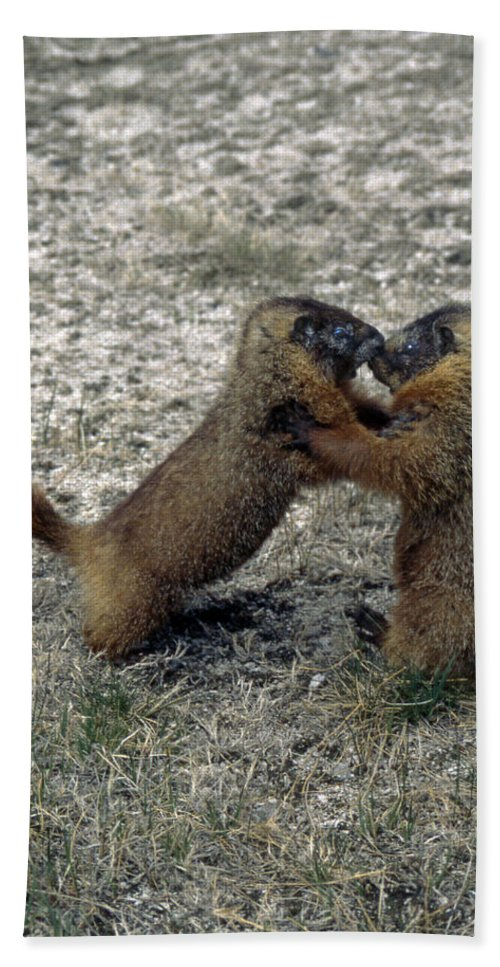 Yellow Bellied Marmot Bath Sheet featuring the photograph 4m09150-02-marmot Fight by Ed Cooper Photography