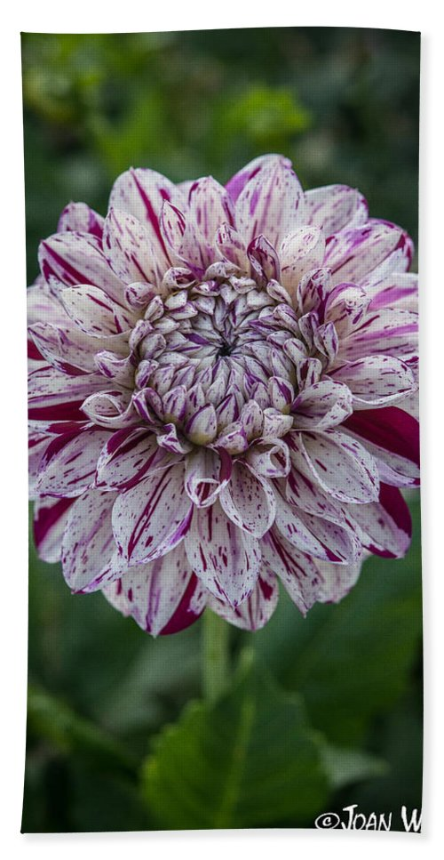 Dahlia Hand Towel featuring the photograph Maroon Speckled Dahlia by Joan Wallner