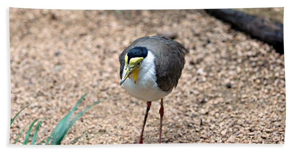 Animal Bath Sheet featuring the photograph Masked Lapwing by Paul Fell