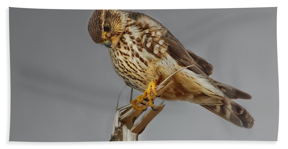Merlin Falcon Bath Sheet featuring the photograph Merlin Falcon Searching For Prey by Susan Capuano