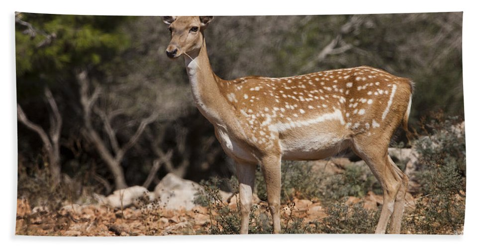Fallow Hand Towel featuring the photograph Mesopotamian Fallow Deer 2 by Eyal Bartov