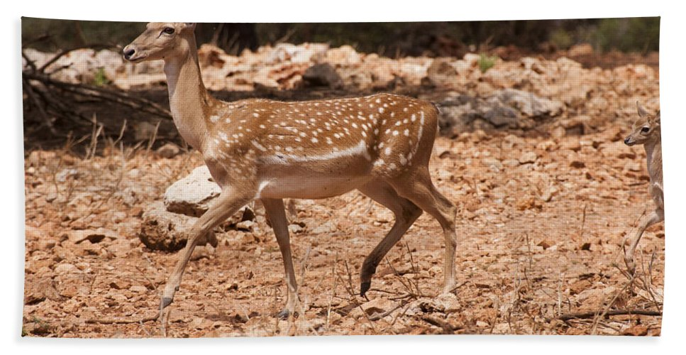 Fallow Hand Towel featuring the photograph Mesopotamian Fallow Deer by Eyal Bartov