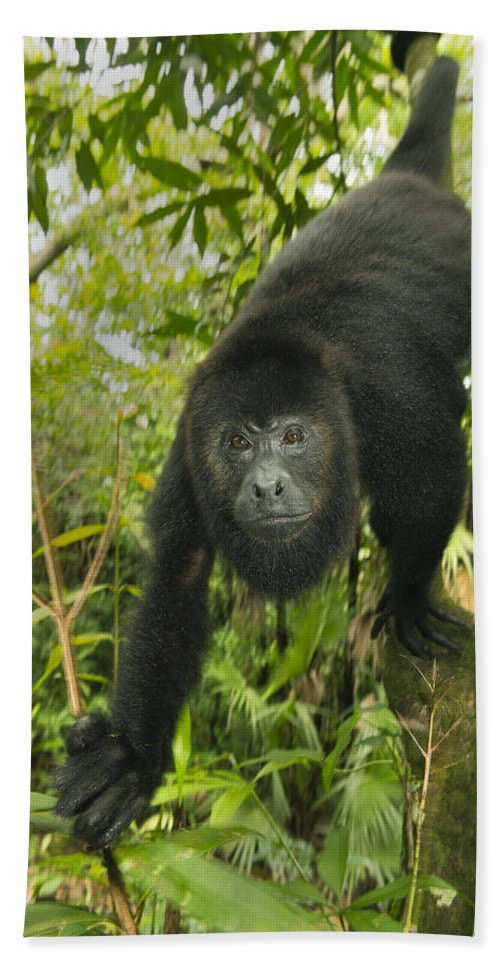 Kevin Schafer Bath Towel featuring the photograph Mexican Black Howler Monkey Belize by Kevin Schafer