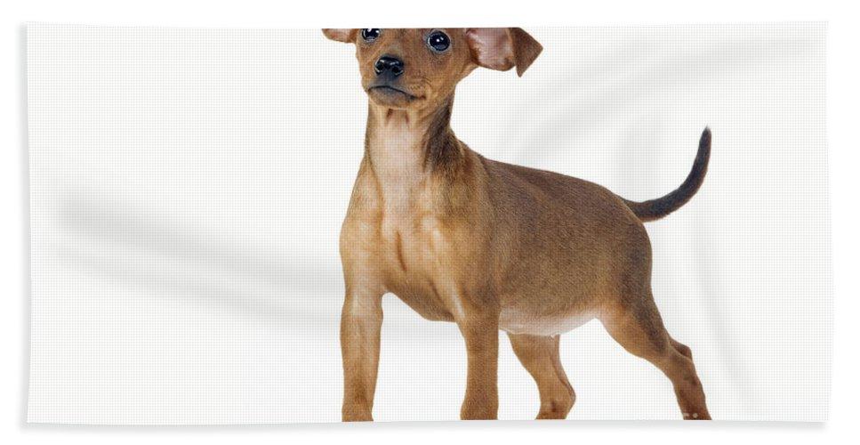 Miniature Pinscher Bath Sheet featuring the photograph Miniature Pinscher Puppy by Jean-Michel Labat