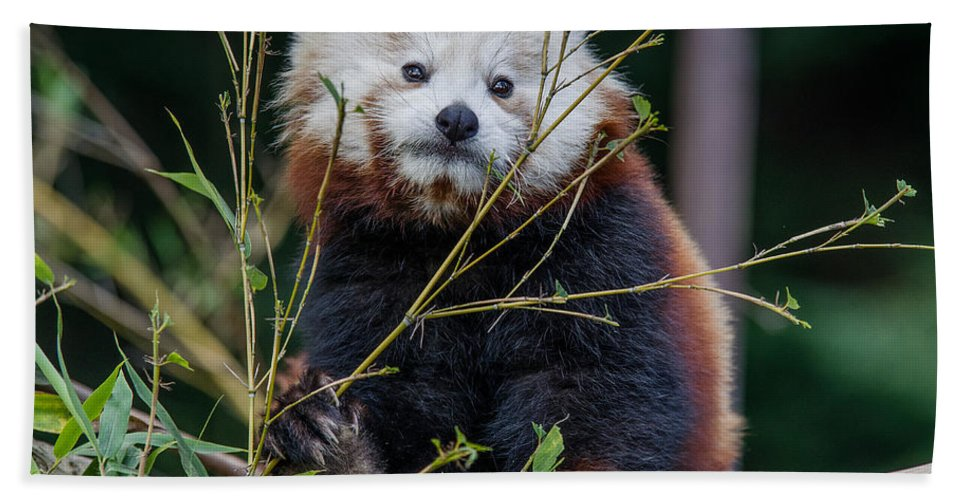 Red Panda Hand Towel featuring the photograph Mohu The Teenage Red Panda by Greg Nyquist