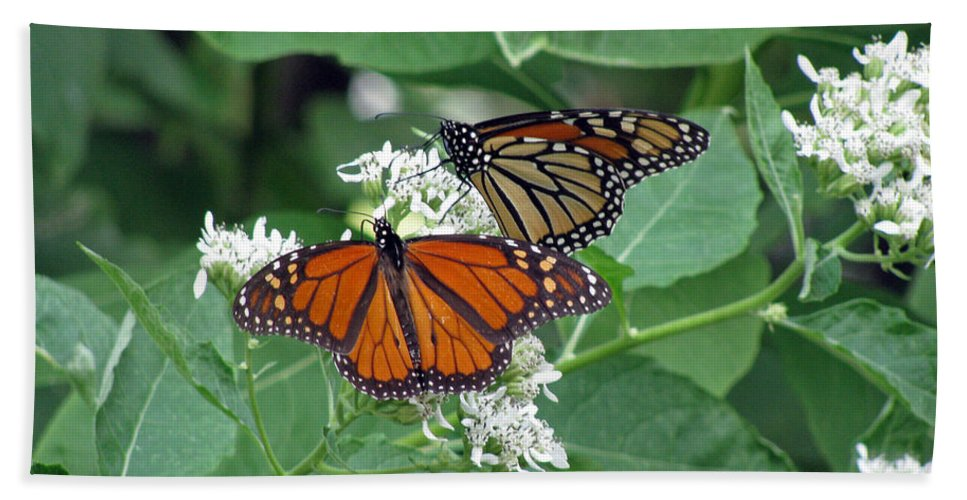 Butterfly Bath Sheet featuring the photograph Monarch Butterfly 69 by Pamela Critchlow