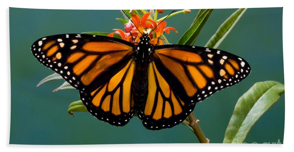 Animal Hand Towel featuring the photograph Monarch Butterfly Danaus Plexippus by Anthony Mercieca