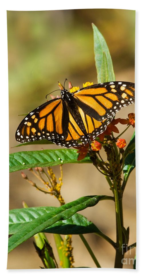 Fauna Hand Towel featuring the photograph Monarch Butterfly On Plant With Eggs by Anthony Mercieca