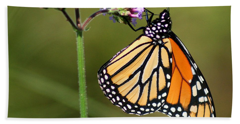 Monarch Bath Sheet featuring the photograph Monarch Butterfly On Vibernum Square by Karen Adams