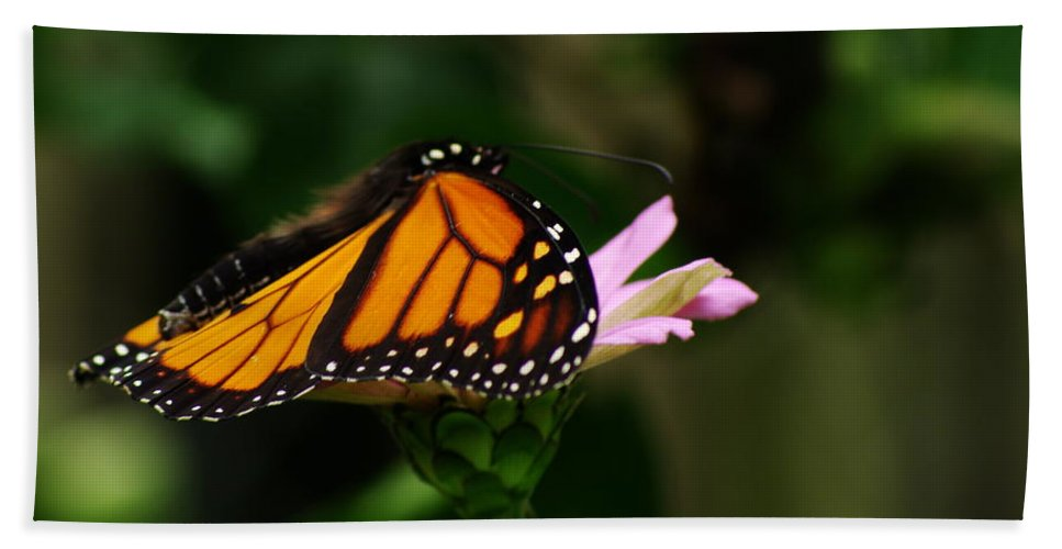 Monarch Butterfly Bath Sheet featuring the photograph Monarch by Kitrina Arbuckle