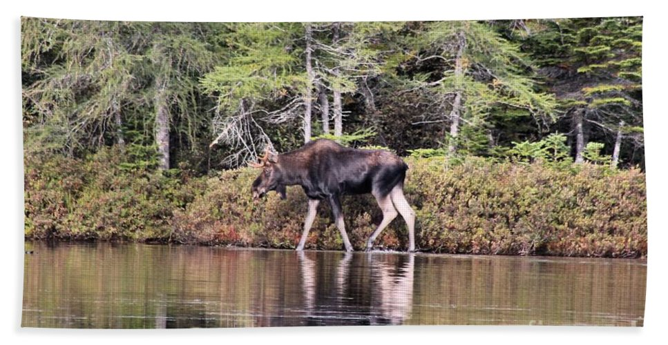 Maine Moose Bath Sheet featuring the photograph Moose_0586 by Joseph Marquis