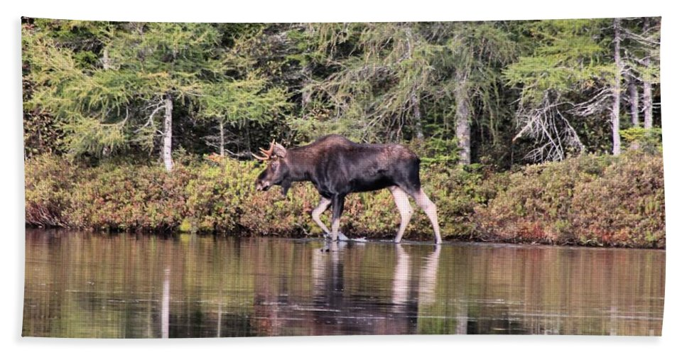 Maine Moose Bath Sheet featuring the photograph Moose_0587 by Joseph Marquis